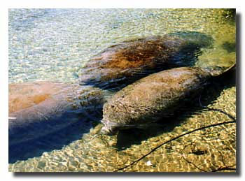Groups of Manatees at Homosassa Springs State Park
