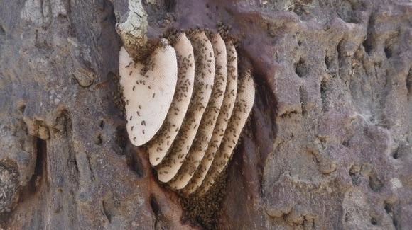 African Killer Bee Nest [© CC BY-NC-ND 2.0 tshantz https://www.flickr.com/photos/tshantz/]