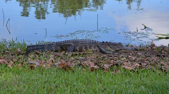 Alligator on the lake bank in Celebration
