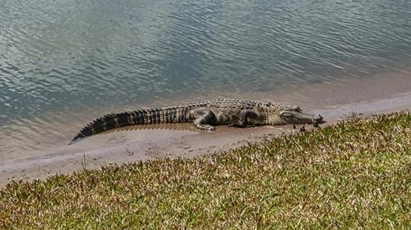 Alligator basking at the waters edge