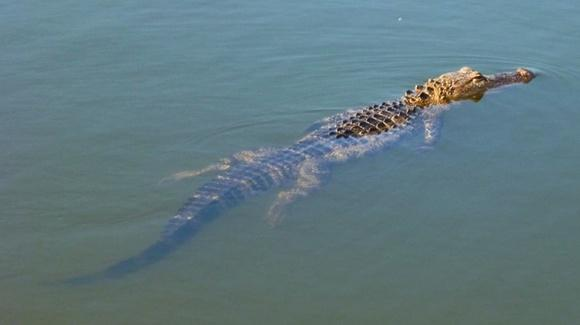 Alligator in lake (approximately 6 foot)