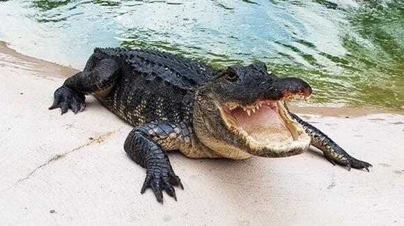 Big Al alligator [© GatorWorld Parks of Florida. All rights reserved]