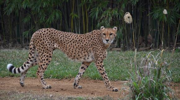 Cheetah at Busch Gardens