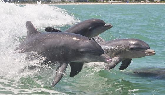 Dolphin Family [© CC BY-NC-ND 2.0 DMangus https://www.flickr.com/photos/danandkelly/]
