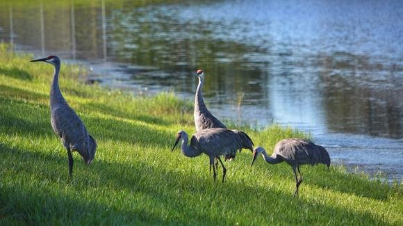 Family of endangered Sandhill Cranes feeding at a lake side