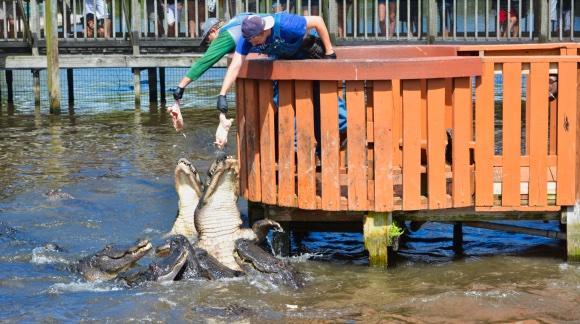 Feeding the alligators at Gatorland