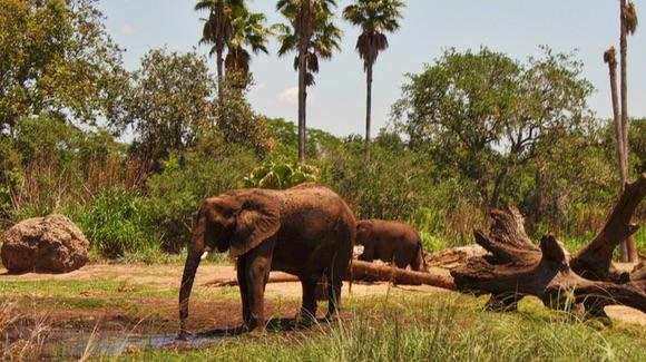 Elephants viewed from Kilimanjaro Safaris ride at Disney's Animal Kingdom