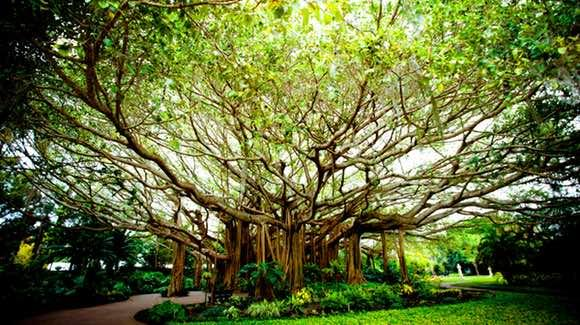 Banyan Tree [© 2010 Chip Litherland Photography]