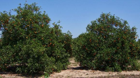 Orange groves at the Bok Estate in Central Florida