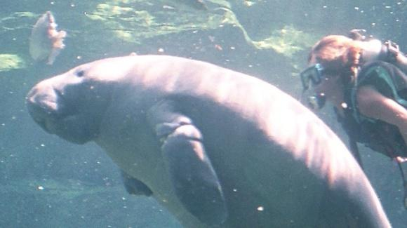 Rescued manatee with diver at SeaWorld