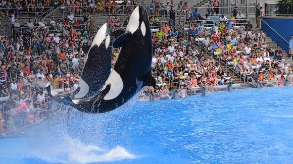 Killer whales jumping in unison at SeaWorld