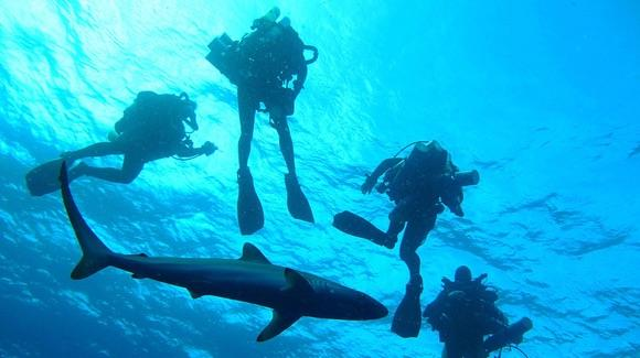 Silky Shark with divers [©CC BY-SA 2.0 NOAA Ocean Exploration & Research https://www.flickr.com/photos/oceanexplorergov/]