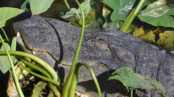 Contented alligator at Gatorland